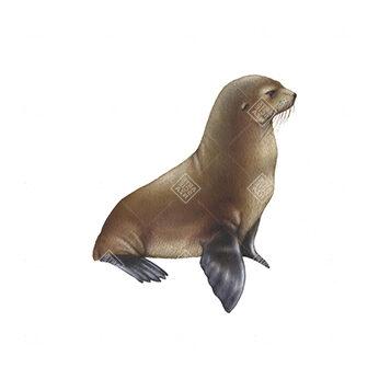 Otaria orsina delle Galapagos