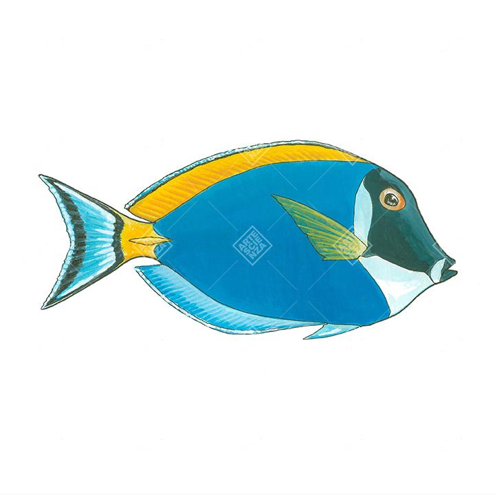 Pesce chirurgo dalla gola bianca