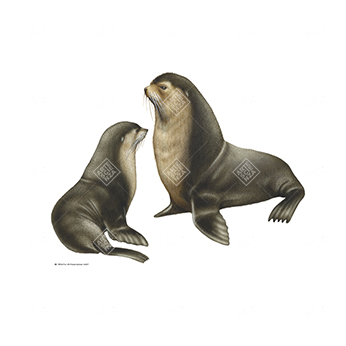 Otaria orsina subantartica