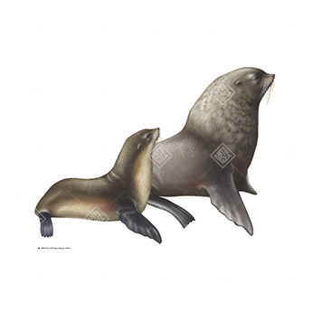 Otaria orsina antartica