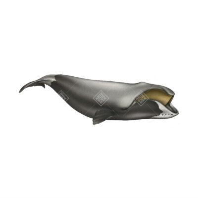 Balena della Groenlandia