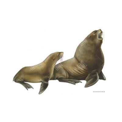 Leone marino di Steller