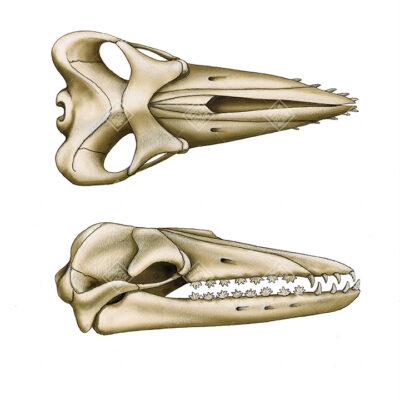 mascella di Balene estinte