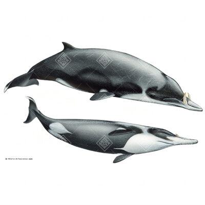 coppia Mesoplodonte di Layard