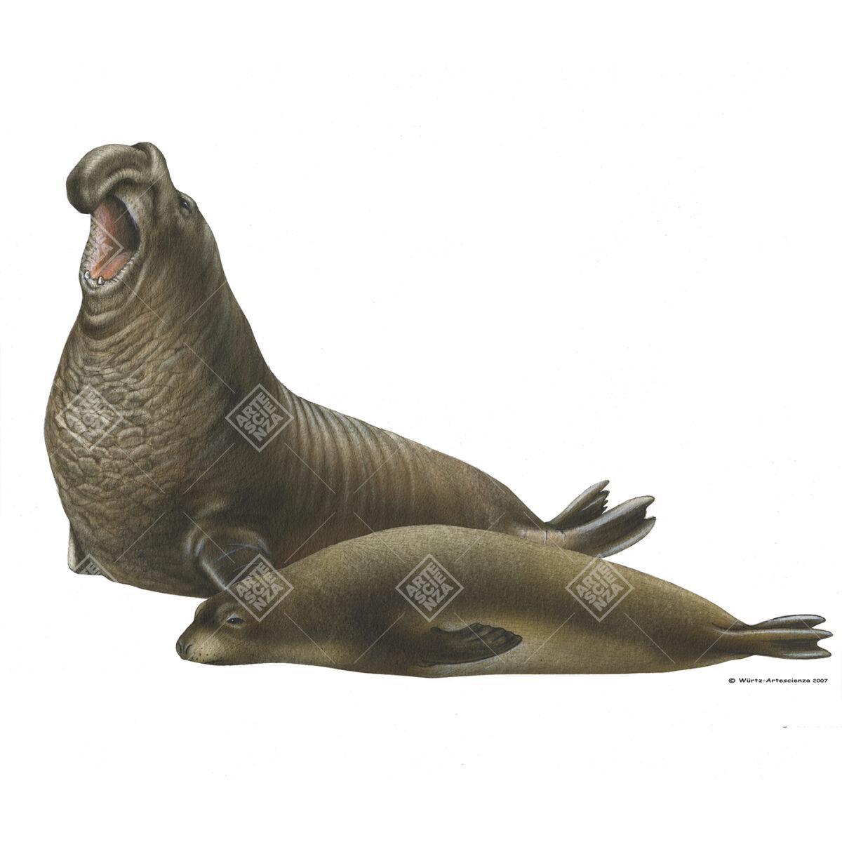 coppia di Elefante marino settentrionale