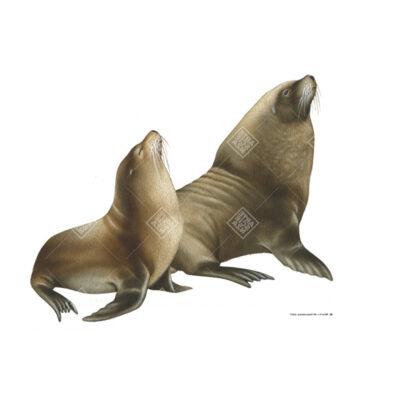 Leone marino australiano