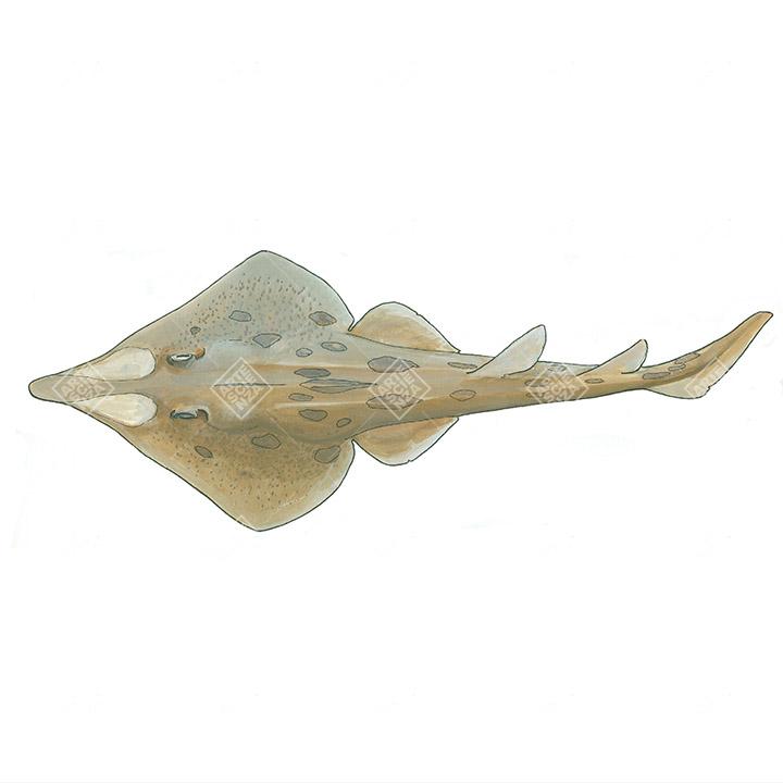 Pesce sega dal lungo rostro