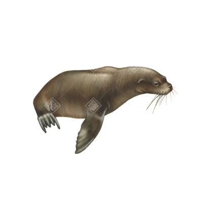 Leone marino meridionale