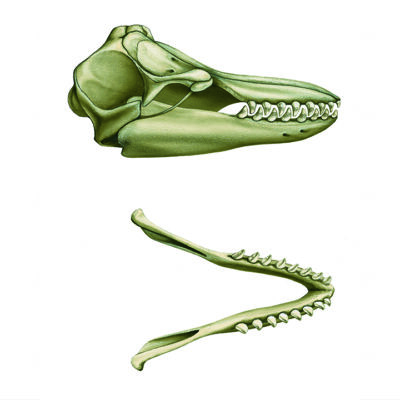 cranio dell'Orca
