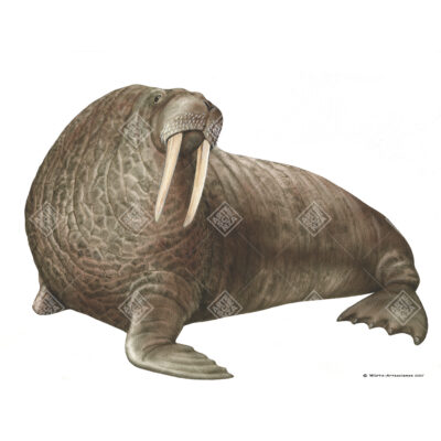 Tricheco, Walrus