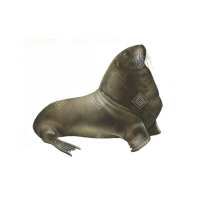 Leone marino della Nuova Zelanda