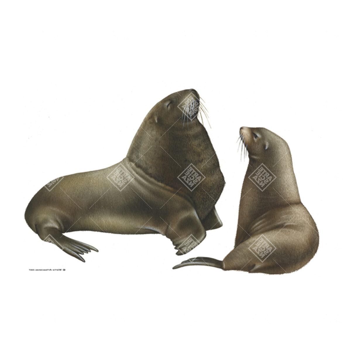 coppia di Leone marino della Nuova Zelanda