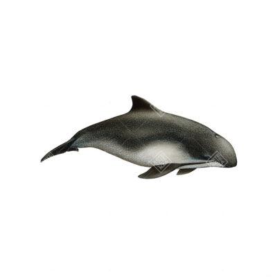 Focena | Harbour porpoise