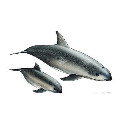Focena del Golfo | Vaquita