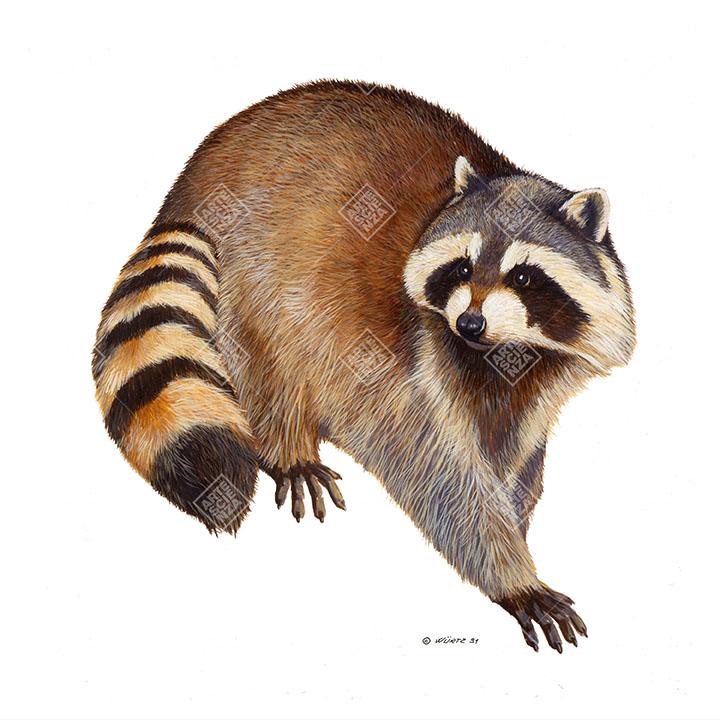 Orsetto lavatore | Raccoon