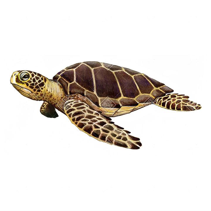 Tartaruga comune   Loggerhead sea turtle