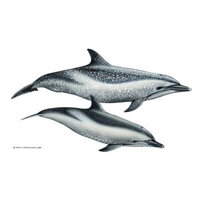 coppia di Stenella attenuata | Pantropical spotten dolphin