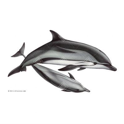 coppia di Stenella striata   Striped dolphin