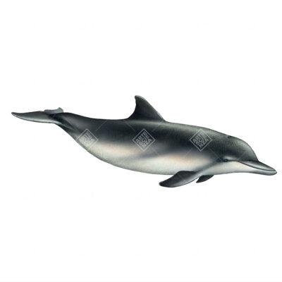 Sotalia marina | Guiana dolphin