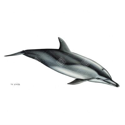 Stenella climene | Clymene dolphin
