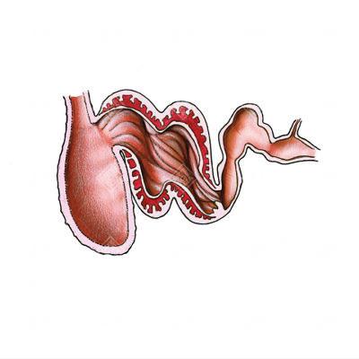 stomaco di un Cetaceo