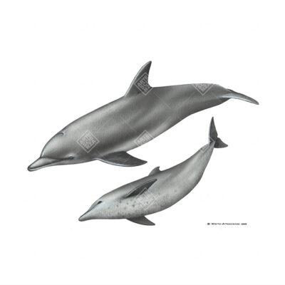 Tursiope indopacifico | Indo-pacific bottlenose dolphin