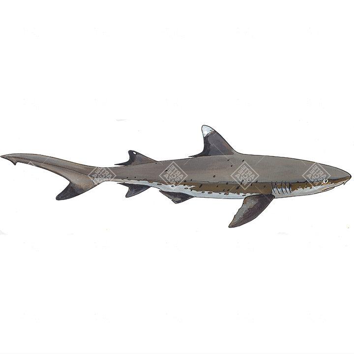 Squalo pinna bianca | White tip reef shark