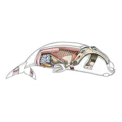 Anatomia interna Misticeti