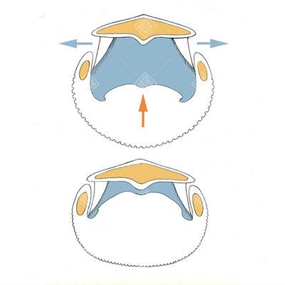 sezione bocca di una Balena