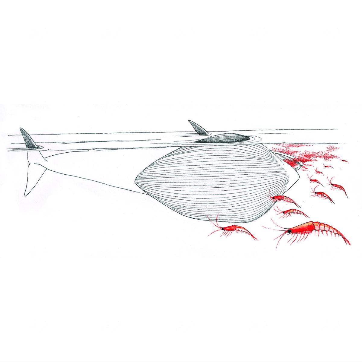 Balenottera Azzurra nell'atto di nutrirsi
