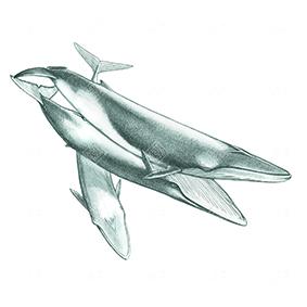 Balenottera minore