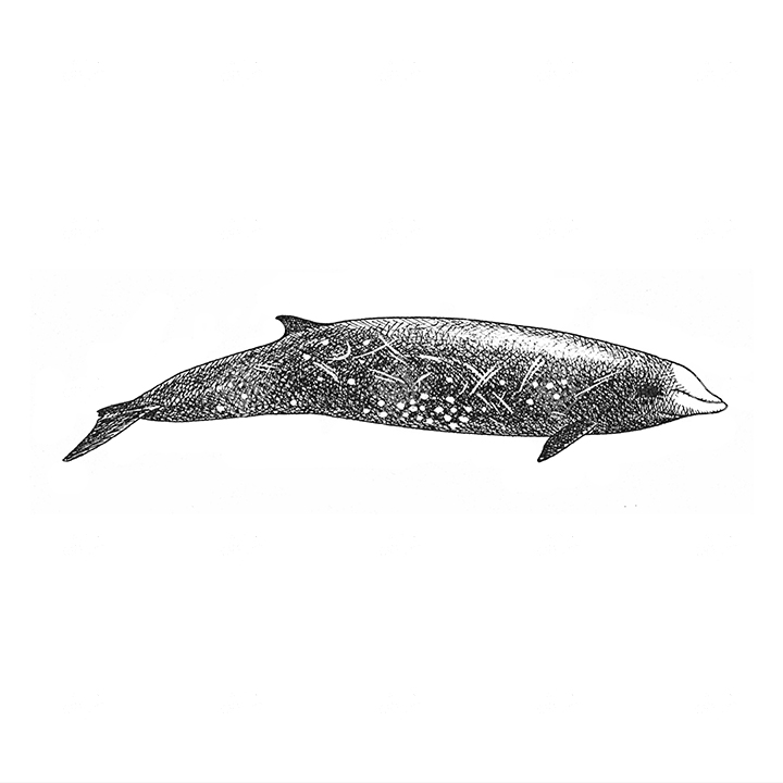 Zifio Cuvier 's beaked whale
